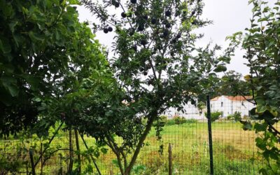 A colheita de ameixas do Jardim de Infância