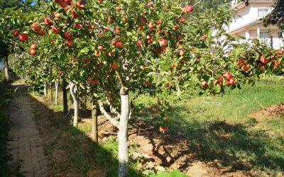 Apanha da maçã – Jardim-de-Infância